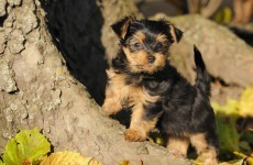 Roscommon men fined for illegally docking puppies' tails