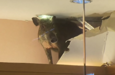 A wild boar fell through the ceiling of a shop in Hong Kong and ran riot