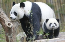 Ten arrested after wild panda bear killed and skinned