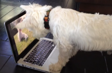 This dog is terribly confused by the puppies 'inside' the computer