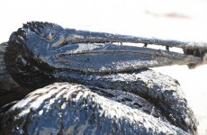 Pictures: A giant oil slick has hit the California coast