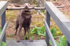 This dog waged a bitter battle with a bridge to keep his stick