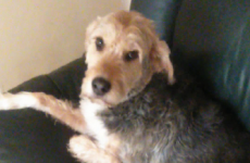 This Dublin dog destroyed his owner's couch, and he feels very bad about it