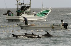Japanese fishermen are going to keep on killing dolphins