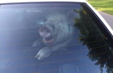 Can you guess what this smug pig just did in a police car?