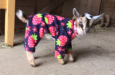 Ah nothing, just some baby goats frolicking about in onesies