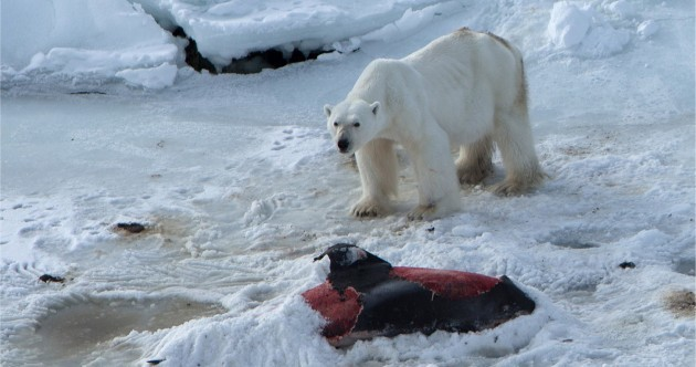 Global warming means polar bears are now eating dolphins for the first time ever