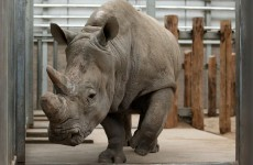 An Irish-backed company is making rhino horns to stop poaching