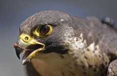Two peregrine falcons have been shot dead