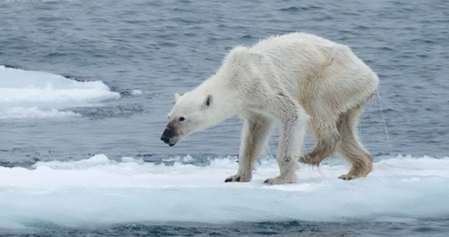 Shocking photo of emaciated polar bear goes viral