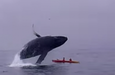 Watch: Kayakers 'almost crushed to death' by humpback whale