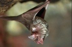 Bats have accents, say scientists