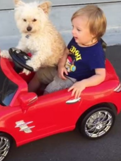 Watch a dog drive a little boy around in a toy car