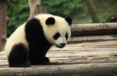 This scientist would happily kick a panda to death… but only to save another species