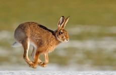 Nine people arrested after gardaí bust illegal hare coursing