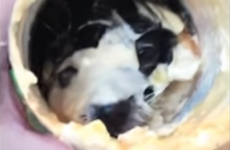 This puppy with its head stuck in a mayonnaise jar is all of us