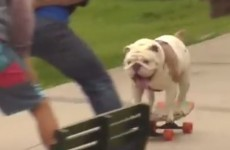 Take a break and watch a bulldog on a skateboard set a new world record