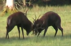 Deer from Kerry roaming freely in the Phoenix Park? It's not a good idea