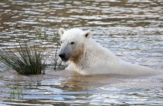 Polar bear shot with rubber bullets to stop it attacking man who jumped into enclosure