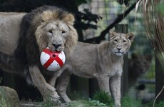 London Zoo is offering you a chance to sleep with lions