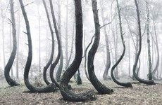 There's a strange forest in Poland that's filled with crooked trees — and no one can explain how it got that way