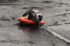 Animal charity rescues very grateful donkey from floodwater in Kerry