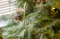 A couple rescued a squirrel, and now it's happily living in their Christmas tree
