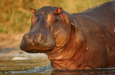 Headless hippo found at Mexico ranch