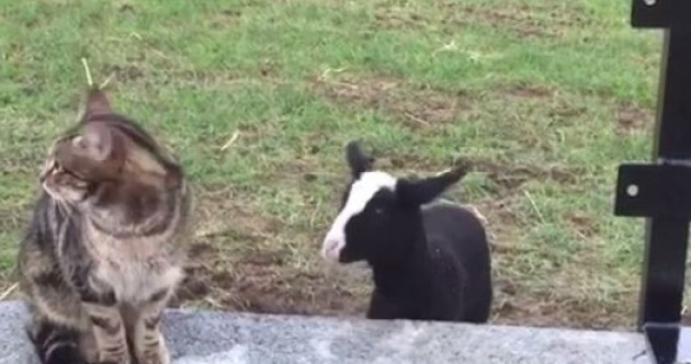 We can't get enough of this cute Kilkenny lamb who thinks she's a dog