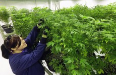 Italy chills out over growers of medical cannabis
