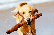 Owners warned not to throw sticks for dogs to chase