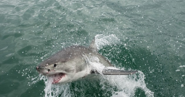 Huge shark jumps three metres onto fishing boat