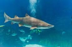 A shark swallowed another shark in an aquarium