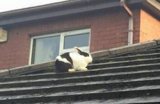 This poor rabbit was 'catapulted' onto a roof by Storm Gertrude
