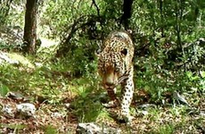 The only wild jaguar in the United States has been caught on camera