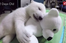 This zoo filmed a polar bear cub as she grew up and it's just the best