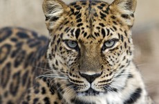 Leopard mauls six people after sneaking into Indian school
