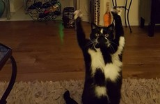 The internet is obsessed with this cat who constantly puts her paws in the air