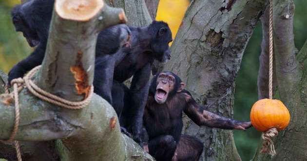 Gallery: Halloween hijinx for elephants, tigers and chimps