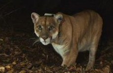 Mountain lion may have killed and eaten 'Killarney the Koala' at LA Zoo