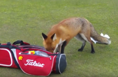 A fox stole a golfer's wallet in Louth and now it's going viral worldwide