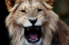 Elderly man clawed by lion during rush hour in Kenyan capital