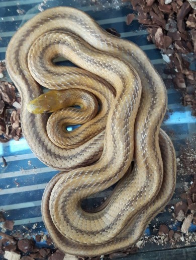 Five foot snake falls out of ceiling onto head of Dublin house owner