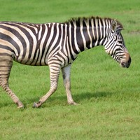 Zebra leads police on chase across golf course before drowning in a water trap