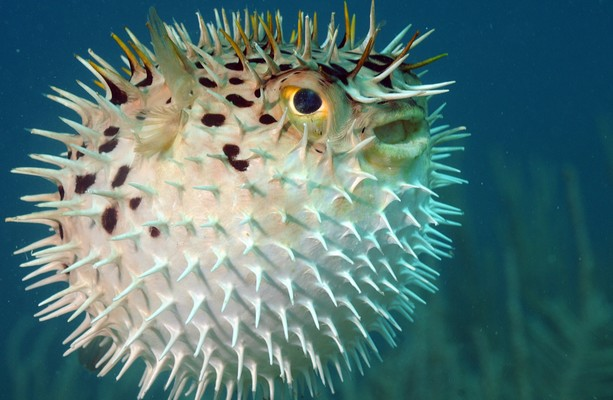 Japanese police raid restaurant believed to be serving for Japanese puffer fish