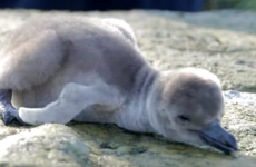 Take a break and watch these wriggly baby penguins being weighed