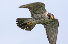 Peregrine falcon found dead at Dalkey Quarry