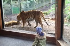 An Irish toddler's reaction to two tigers in Dublin Zoo is going viral all over the world