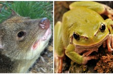 """Australia is trying to stop its """"native cat"""" from being wiped out by poisonous toads"""