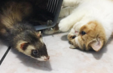 You need to see this Instagram account of a cat who's best friends with ferrets